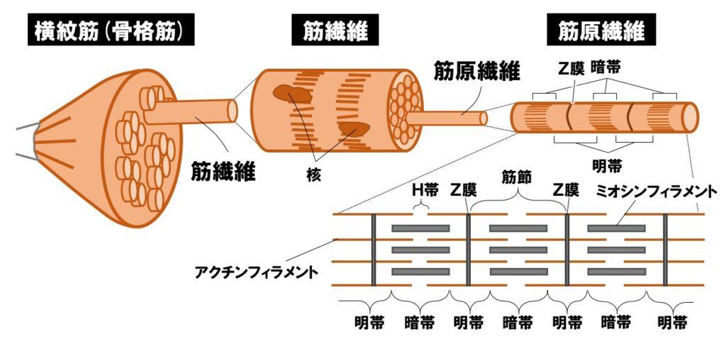 筋繊維と筋原線維