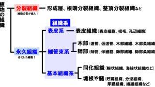 高校生物「植物の組織や組織系」分裂組織と永久組織