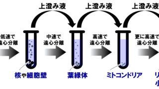 高校生物「細胞分画法」細胞小器官の大きさと実験の注意点