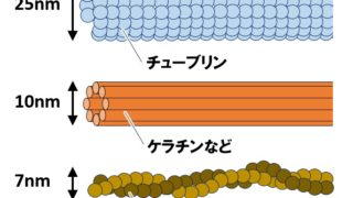 高校生物「細胞骨格」微小管・中間径フィラメント・アクチンフィラメント