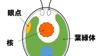生物基礎「細胞群体」クラミドモナスからボルボックスへ