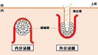 生物基礎「内分泌腺とホルモン」テストに出るホルモンを覚える!