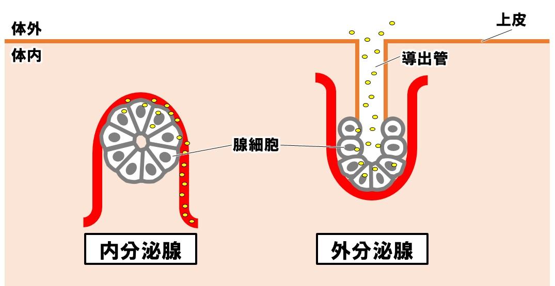 内分泌腺と外分泌腺