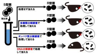 肺炎双球菌の形質転換 グリフィスとエイブリーの実験