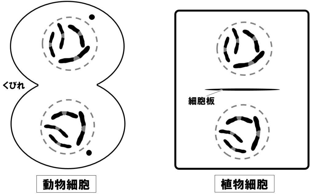 体細胞分裂 終期