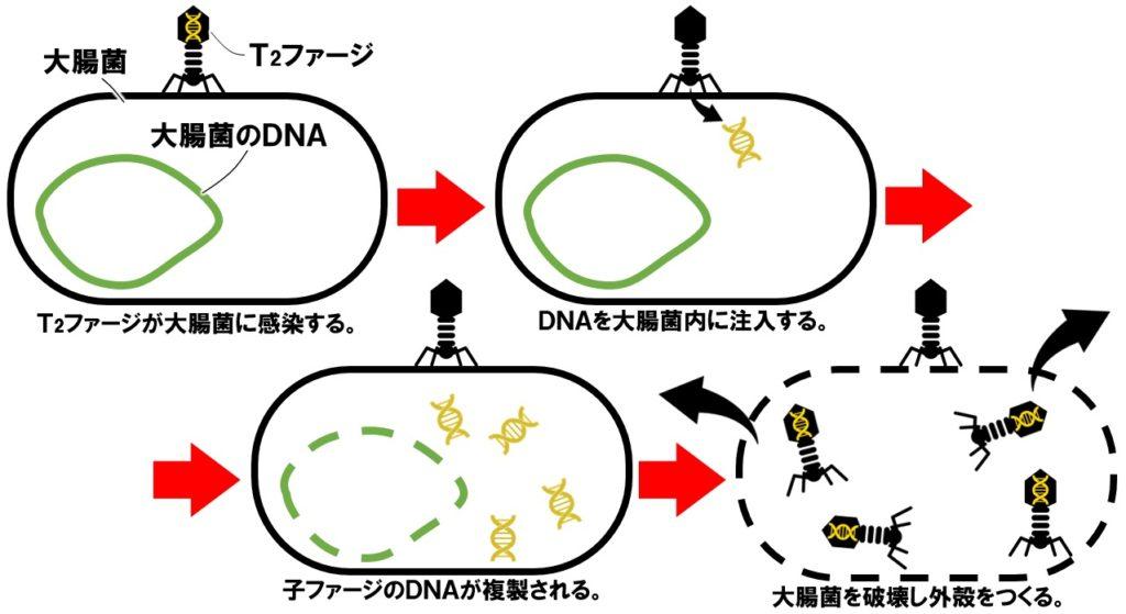 T2ファージが大腸菌に感染する仕組み
