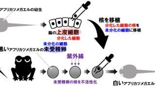 【生物基礎】ガードンによるアフリカツメガエルの核移植実験