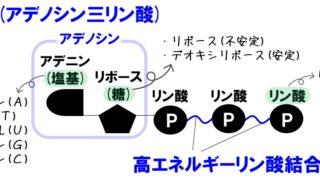 【生物基礎】代謝(同化・異化)とエネルギー(ATPとADP)