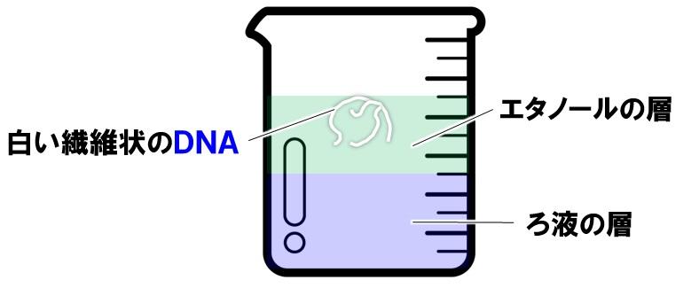 DNA抽出実験