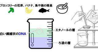 生物基礎「DNAの抽出実験」実験の操作方法を詳しく解説