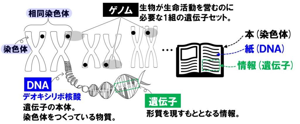 遺伝子とDNA
