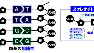 生物基礎「遺伝子とDNA」DNAの構造と遺伝子・ゲノム