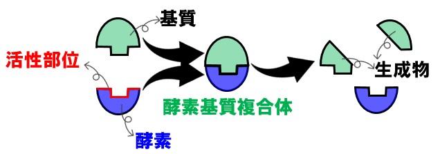 酵素の基質特異性
