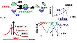生物基礎「酵素」タンパク質でできている酵素の4つの性質