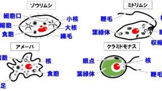 【生物基礎】単細胞生物と多細胞生物と生物群体