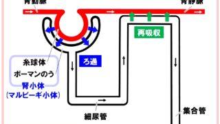 生物基礎「腎臓のつくり」腎単位ネフロン ろ過と再吸収システム