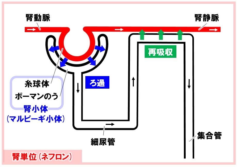 腎単位(ネフロン)