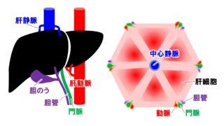 生物基礎「肝臓のつくり」肝臓のはたらきと肝小葉