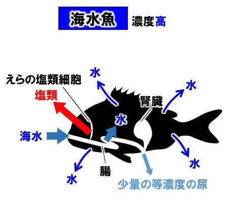 海水魚の濃度調節