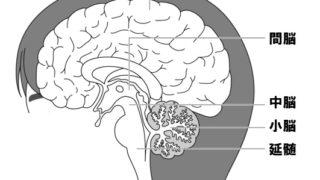 生物基礎「神経系」中枢神経系・末梢神経系・体性神経系・自律神経系とは