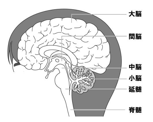 神経系 脳