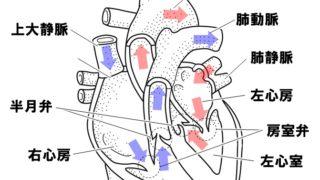 生物基礎「心臓のつくり」心臓の構造と自動性のしくみ