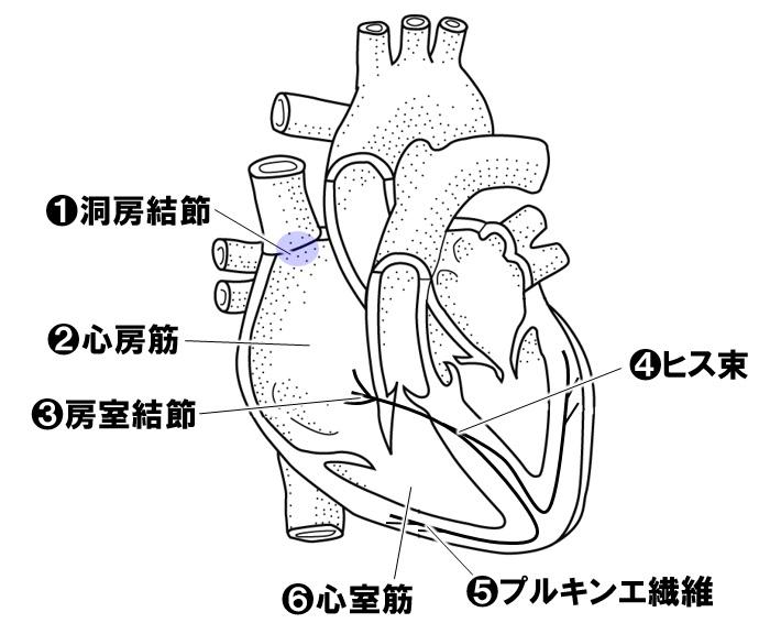 心臓の拍動のしくみ