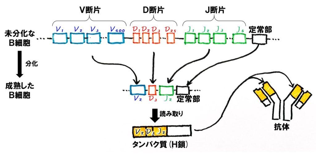 抗体遺伝子の再構成