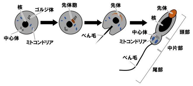 精子への変形